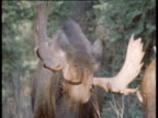 Male Moose push each other with antlers, Alaska