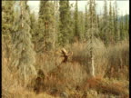 Male moose walks out of forest, Alaska