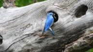 Male Mountain Bluebird in Yellowstone
