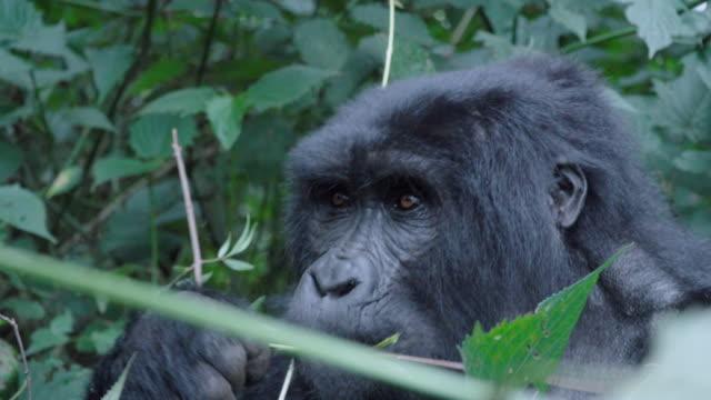 MS Male Mountain Gorilla feeding on branches