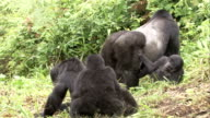 A male mountain gorilla stands between juveniles. Available in HD.