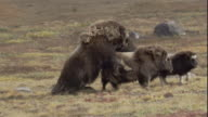 A male musk ox mounts and mates with a female.