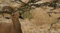 Male Nubian Ibex (Capra nubiana) feeding and resting in the Judea Desert