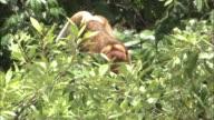 A male of proboscis monkey threatens in Borneo, Malaysia.