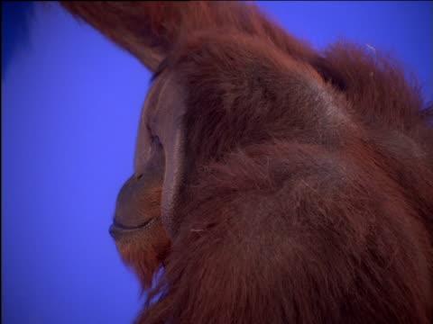 Male orang-utan chews and looks around