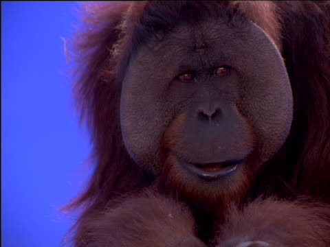 Male orang-utan chews as it looks around