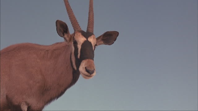 A male oryx antelope stands serenely on a hilltop.