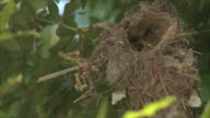 Male Palestine sunbird (Cinnyris osea)feeding young nestlings at nest