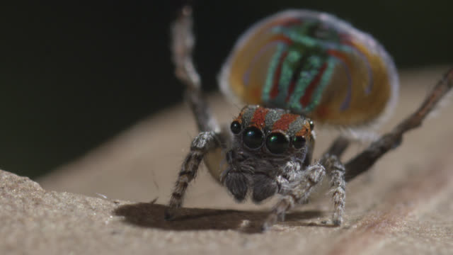 Male peacock jumping spider (Maratus volans) displays to female, Australia