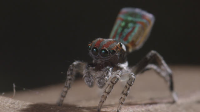 Male peacock jumping spider (Maratus volans) waves pedipalps, Australia