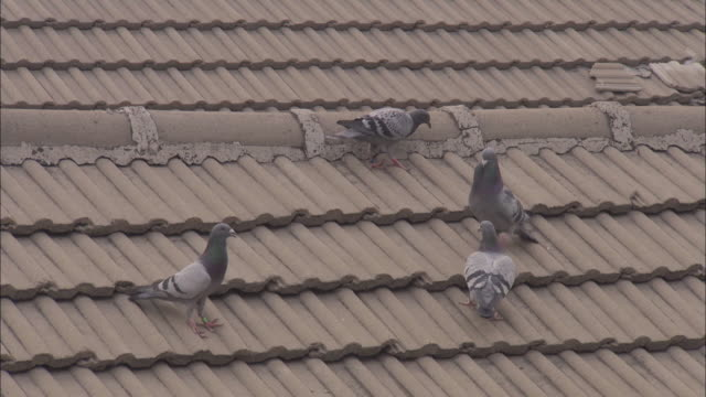 Male pigeons display to females on rooftops, Beijing.