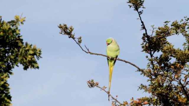 Male rose-ringed parakeet Psittacula krameri HD video