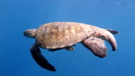 Male Sea Turtle