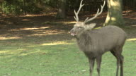 Male Sika Deer Calling
