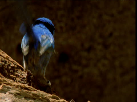 Male splendid fairy wren hops around on rotting log and forages for termites, New South Wales, Australia