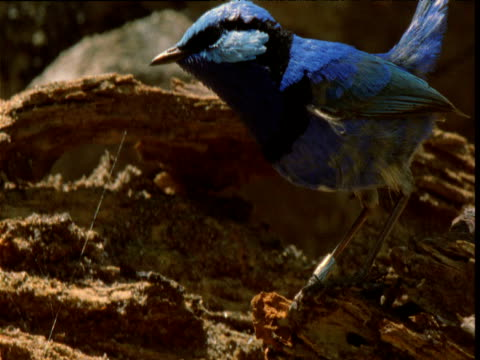 Male splendid fairy wren hops around on rotting log and pecks at termites, New South Wales, Australia