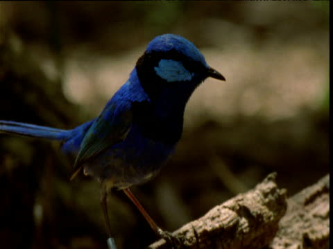 Male splendid fairy wren hops around twittering on rotting log and pecks at termites, flies off, New South Wales, Australia