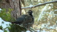 MS Male spruce grouse perching on tree in Algonquin Park during winter / Whitney, Ontaria, Canada
