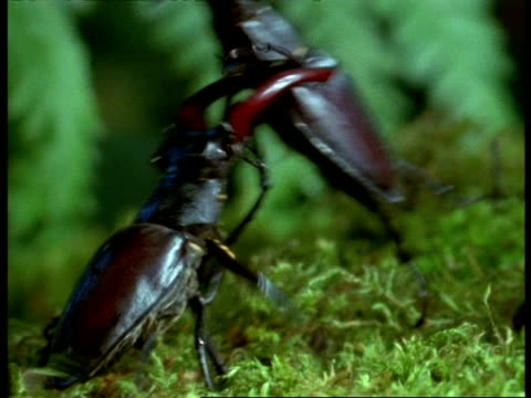 CU Male Stag Beetle (Lucanus cervus) lifting another backwards, England