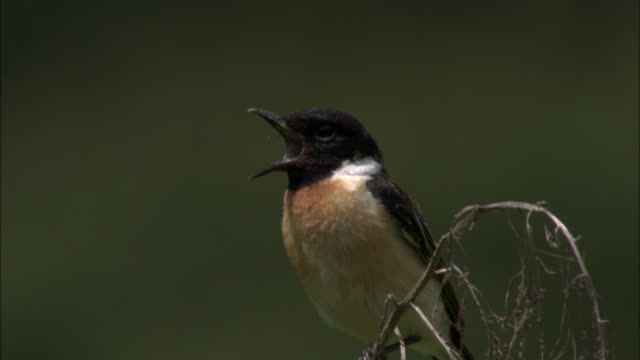 Male Stonechat calls from perch, Changbaishan National Nature Reserve, Jilin Province, China