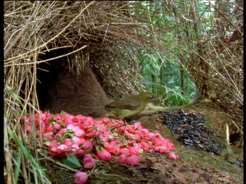 Image result for vogelkop bowerbird