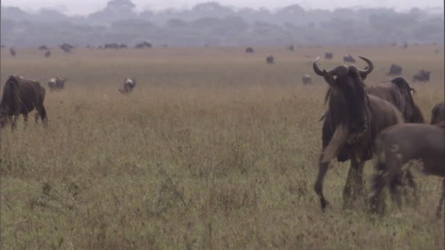 Male white bearded wildebeest rounds up females then rises on hind legs and ejaculates/urinates Available in HD.
