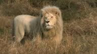 Männliche white lion Herumstreifen auf afrikanische Savanne