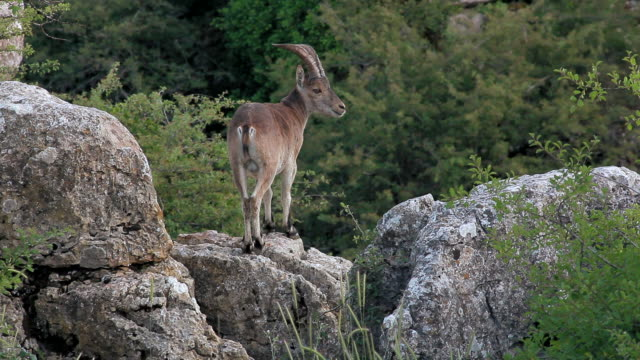 F/S male wild goat