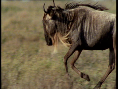 Male wildebeest runs and frolics on savanna