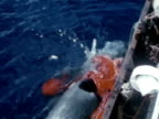 Males walking on ship WS Sperm Whale w/ tail in air harpoon line running from boat TD WS Men gathering Sperm Whale next to boat blood in water WS...