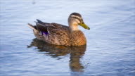 Mallard Duck at lake Tekapo, New Zealand