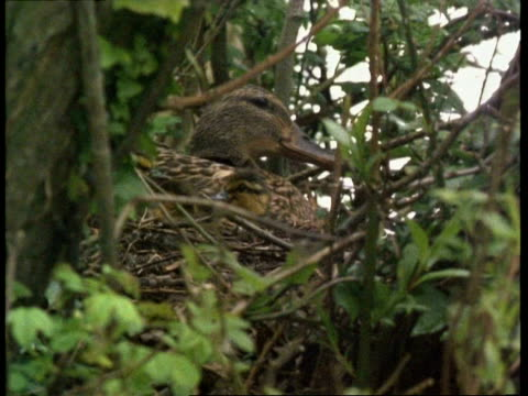 Mallard duck with young on nest, camouflaged in surroundings, England, UK