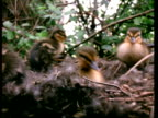 CU Mallard ducklings, Anas platyrhynchos, moving around nest, England, UK