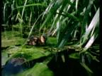 CU Mallard ducklings, Anas platyrhynchos, on lily pads on river, England, UK