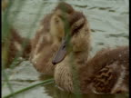 Mallard ducklings on pond, Central Park, New York