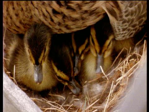 Mallard ducklings under mother nesting in window box