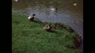 1954 MONTAGE Mallard ducks (Anas platyrhynchos) with ducklings on pond / Regina, Saskatchewan, Canada