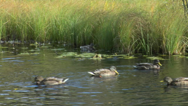 Mallards swimming