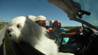 HD SLOW-MOTION: Maltese Dog In A Convertible
