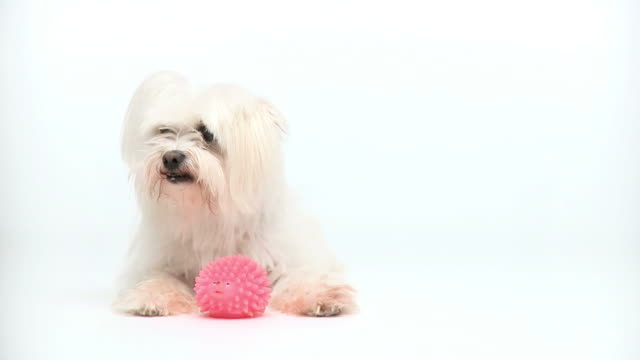 HD: Maltese dog on white