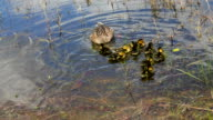Mamma duck and ducklings HD