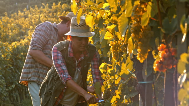 Man and woman harvesting grapes by hand at sunset