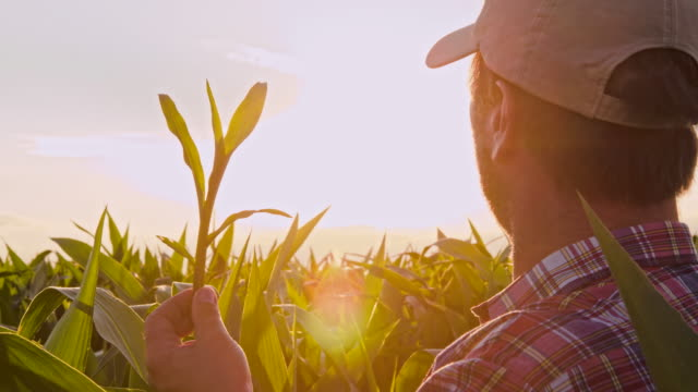 MS Man Checking The Corn Plants