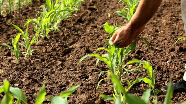 Man checks corn crop