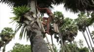 man climbing sugar-palm in Cambodia