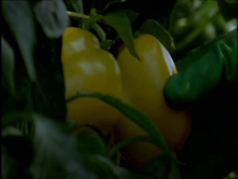 Man collects yellow peppers in huge greenhouse Spain