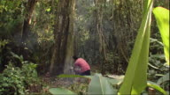 WS TD Man cutting down tree in rainforest, Peru