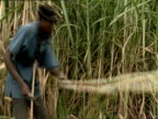 MS Man cutting sugar cane stalks with machete in sugar cane field / Kigali, Rwanda