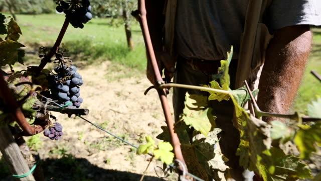 Man harvesting grape in Tuscany