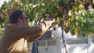 MS TU Man harvesting grapes in vineyard / Zillah, Washington, USA